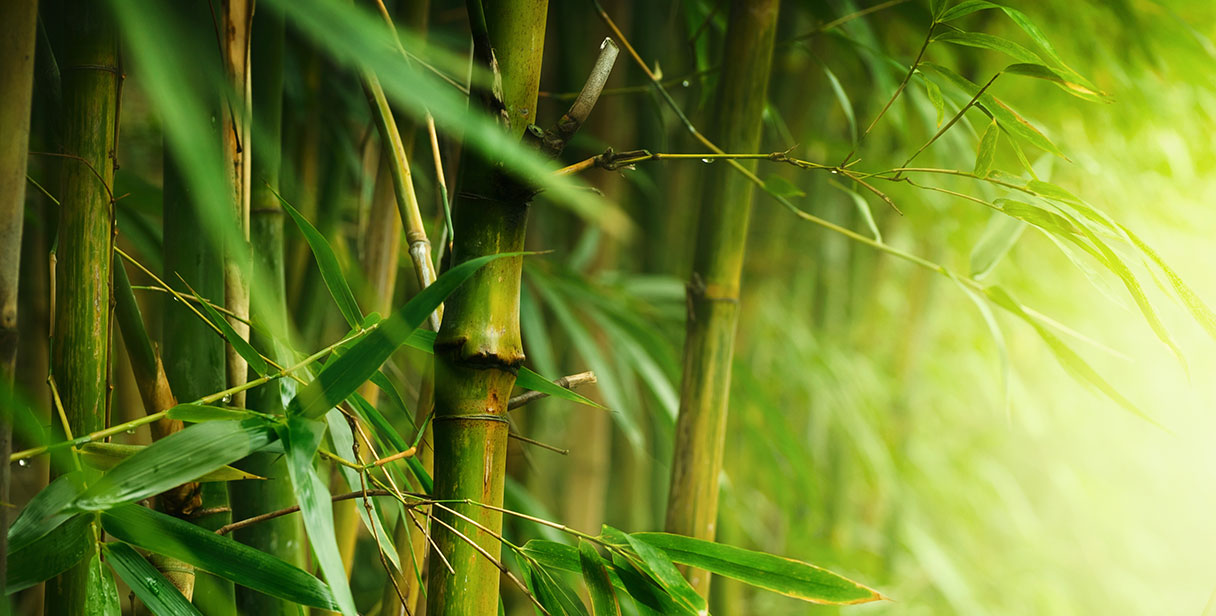 Bamboo Hedging