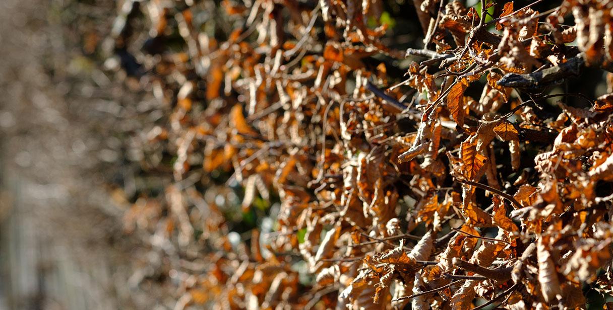 Benefits of Hornbeam Hedging