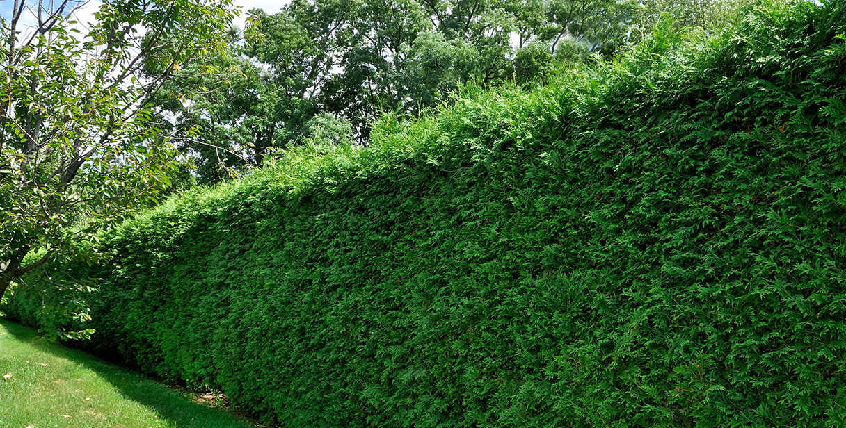 Benefits of Taxus Baccata Hedges