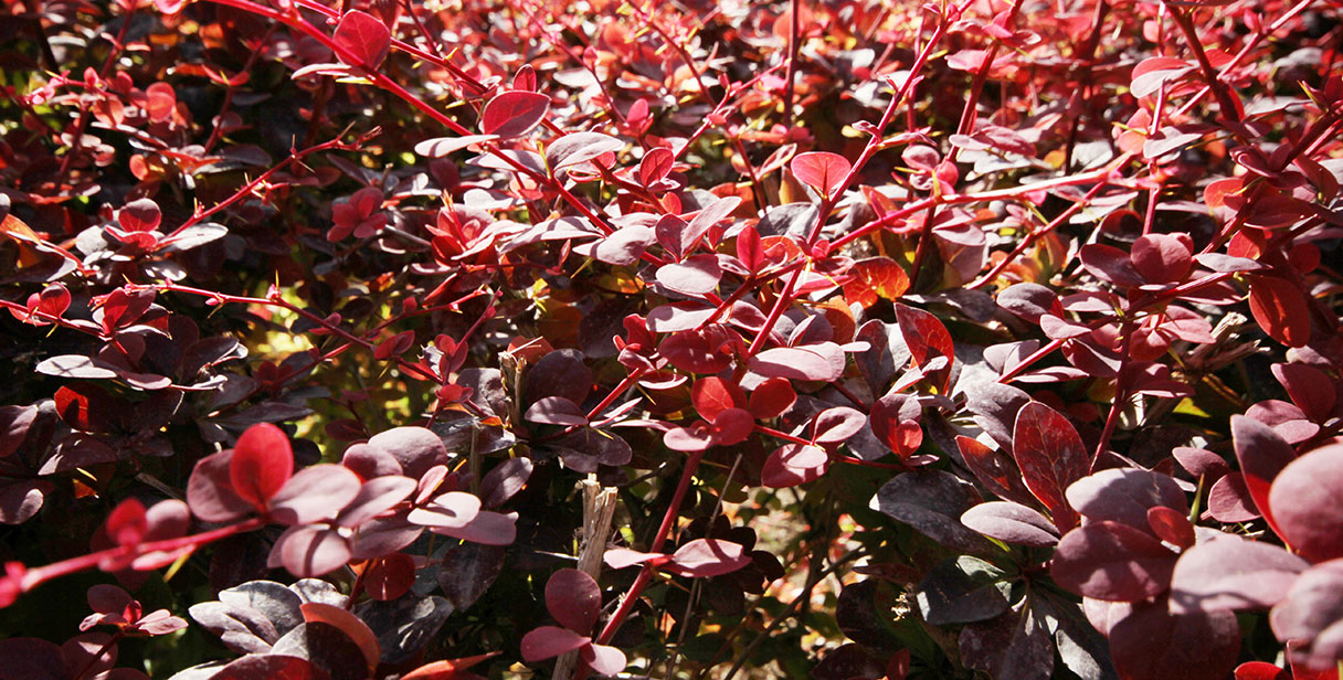 Berberis Thunbergii Border Hedge