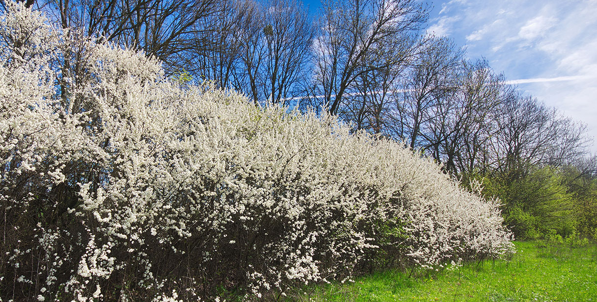 Blackthorn for Natural Hedging