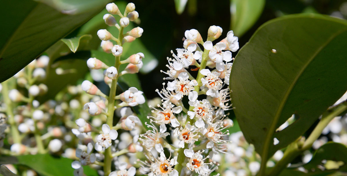 Cherry Laurel 'Genolia'®