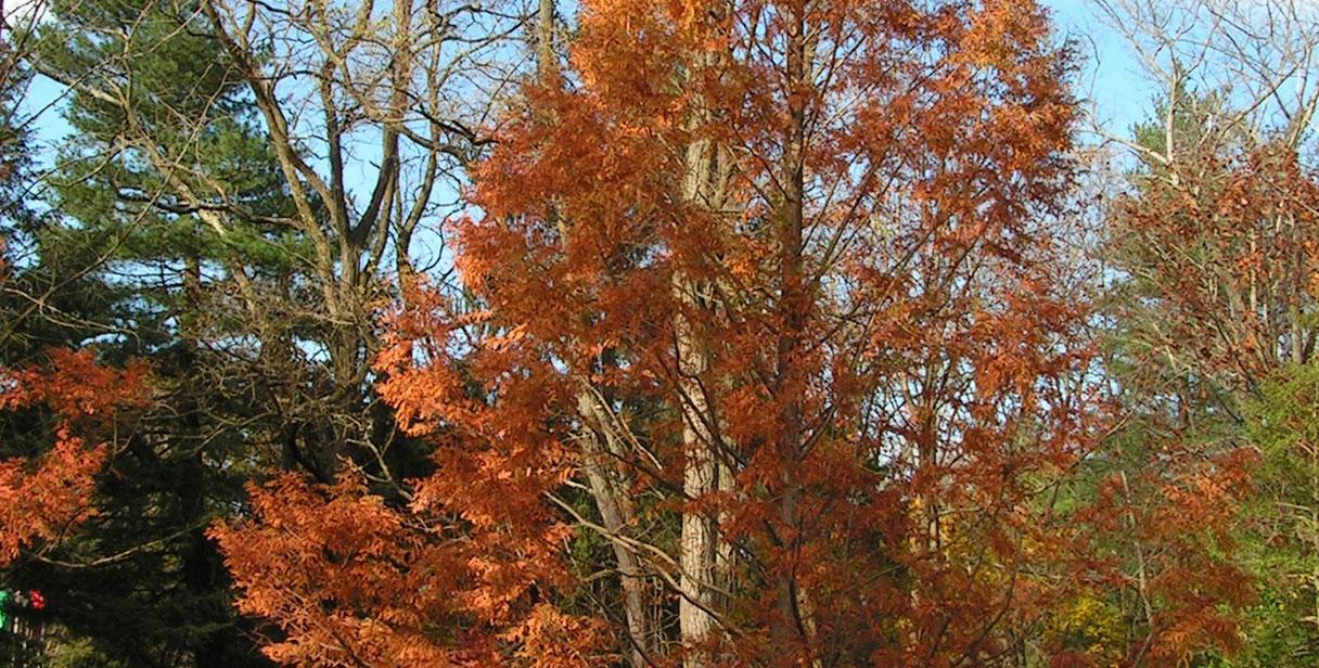 Choosing a Dawn Redwood Hedge