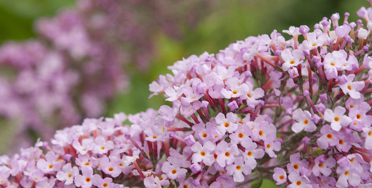 Choosing Fragrant Hedging Plants