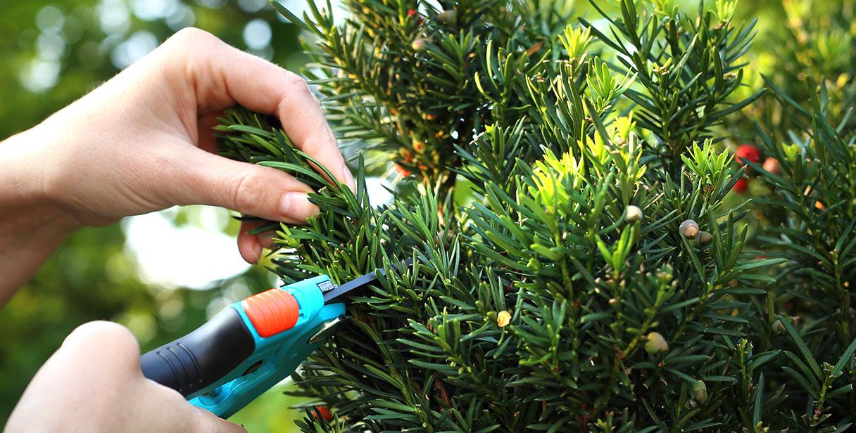 Choosing a Taxus Baccata Hedge