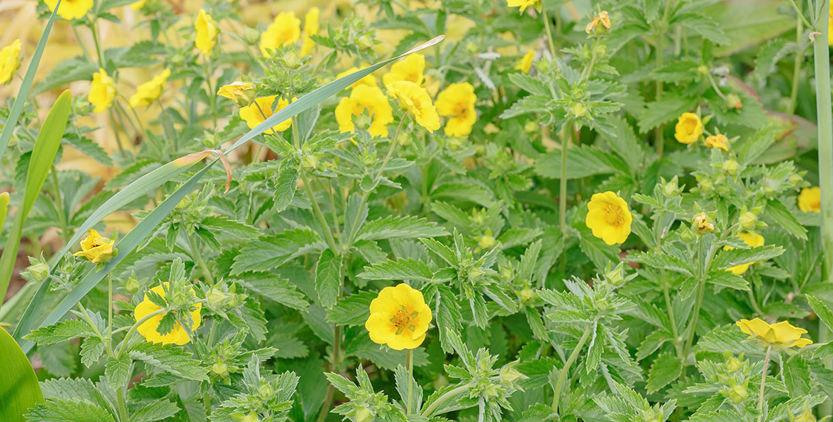 Combining Potentilla for Flowering Hedges