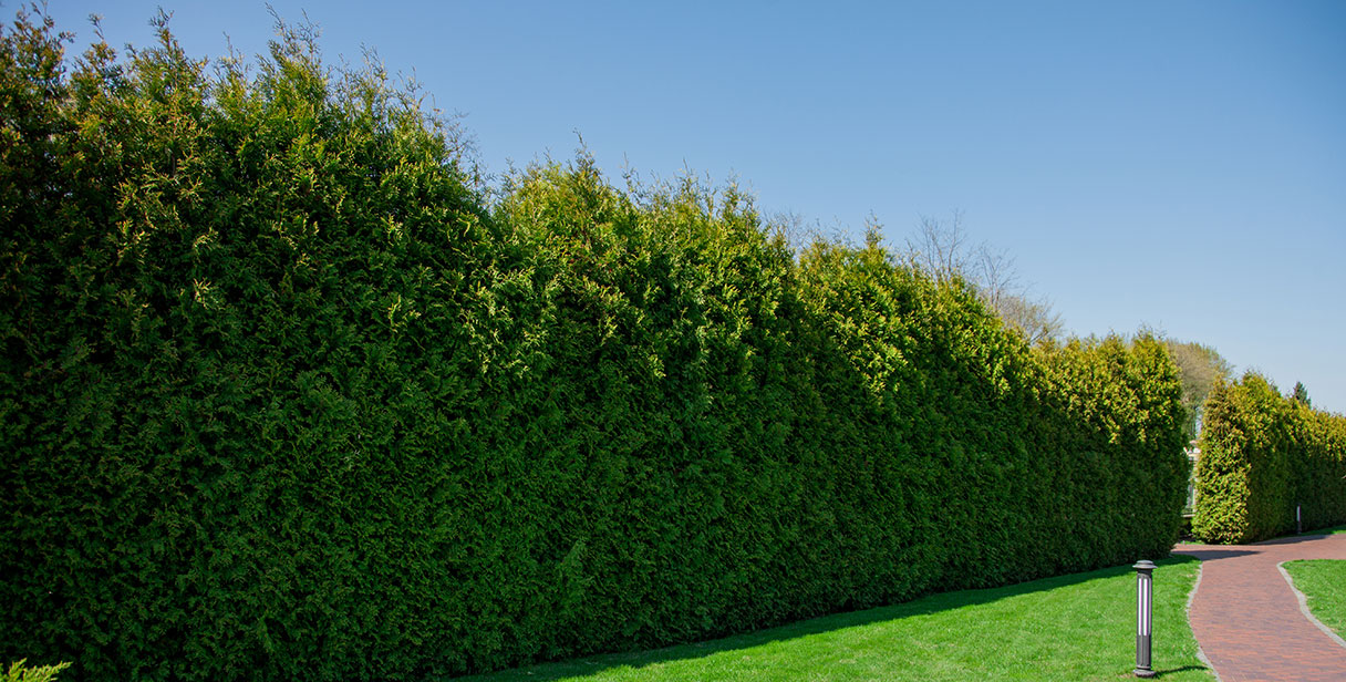 Conifer Screening Hedges