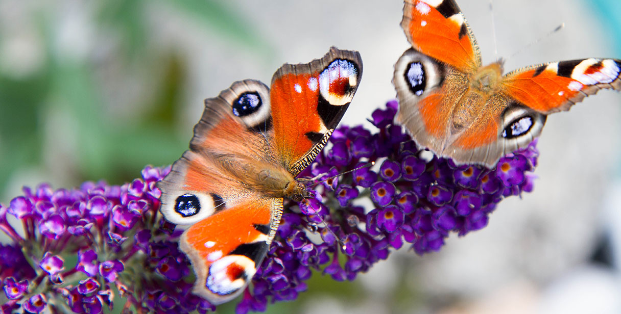 Creating Mixed Butterfly Hedges