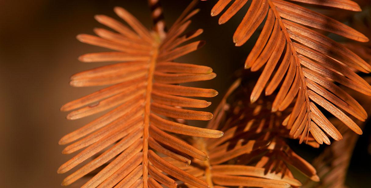 Dawn Redwood Hedging