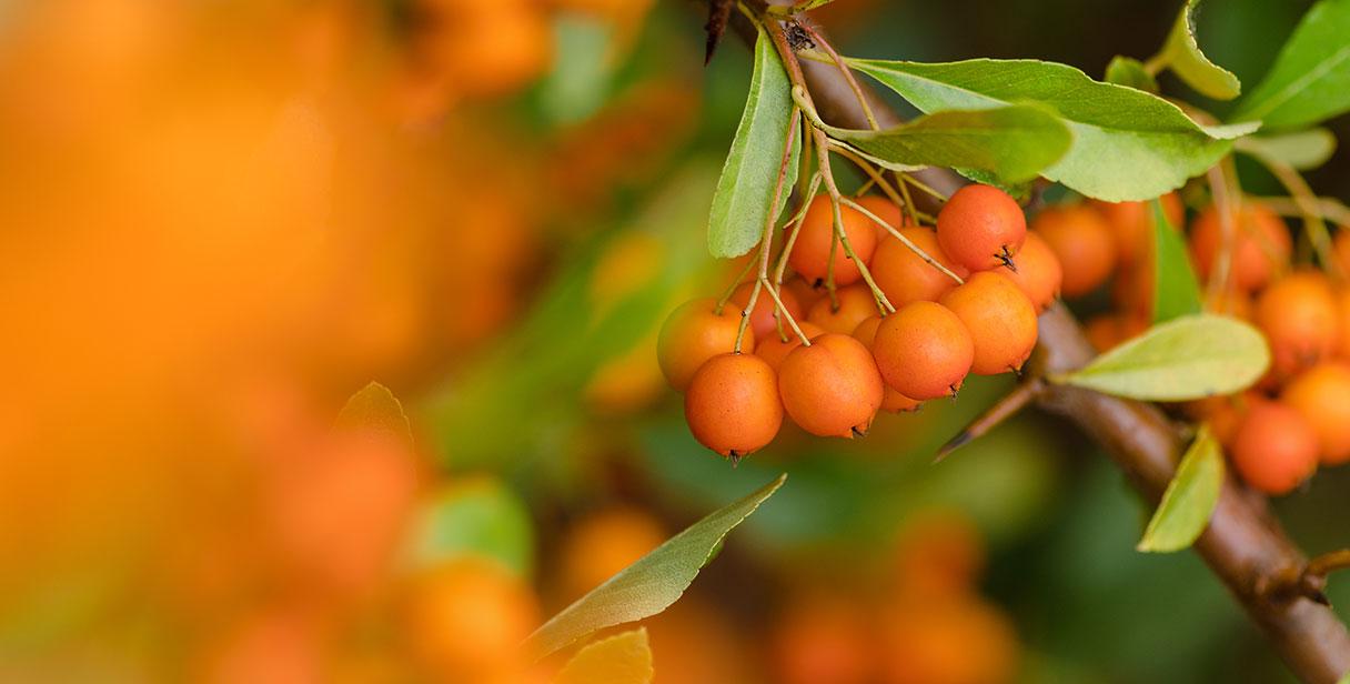 Firethorn 'Orange Glow'