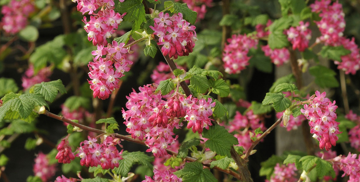 Flowering Currant Hedges for any Garden