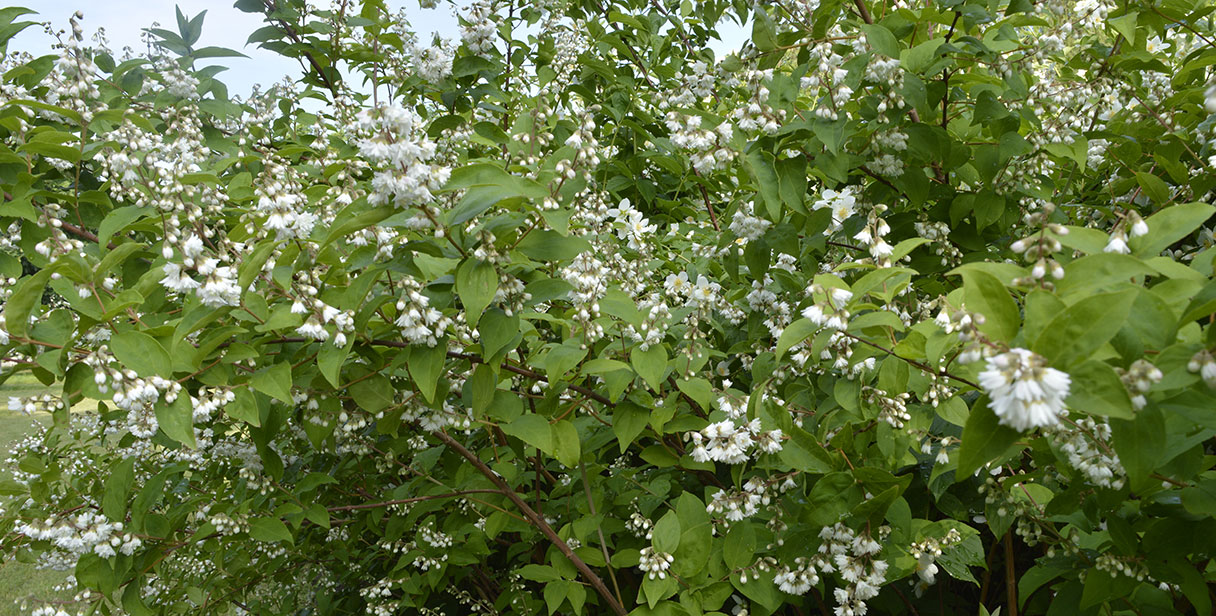 Flowering Deutzia Hedges