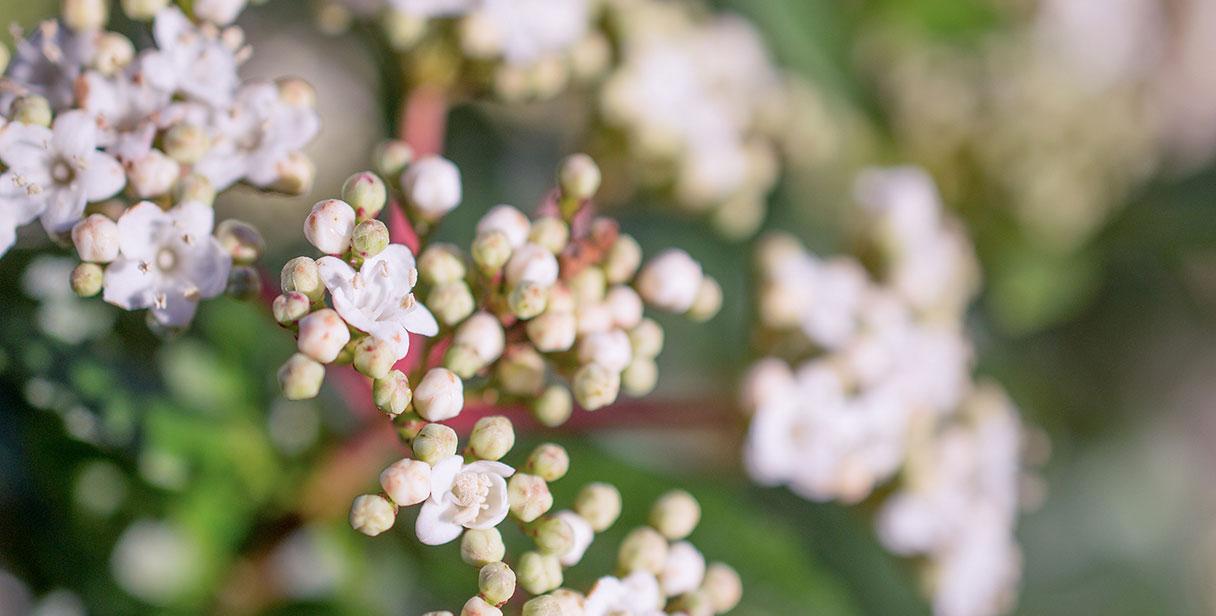 Flowering Hedging Plants