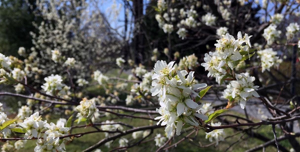 Flowering Juneberry Hedges