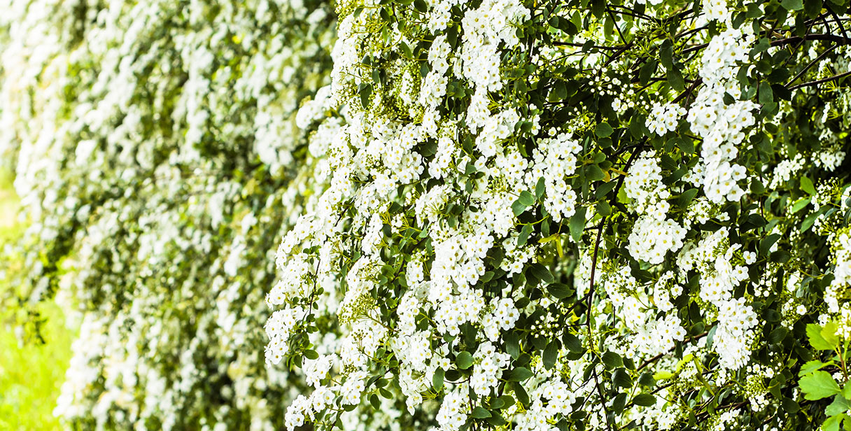 Growing and Maintaining Spiraea Hedges