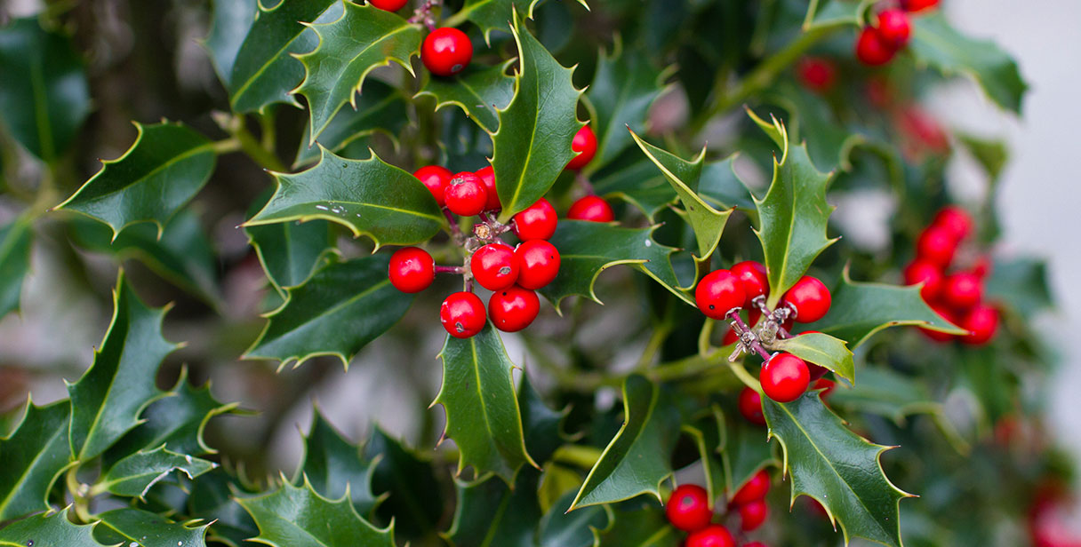 Holly Hedging