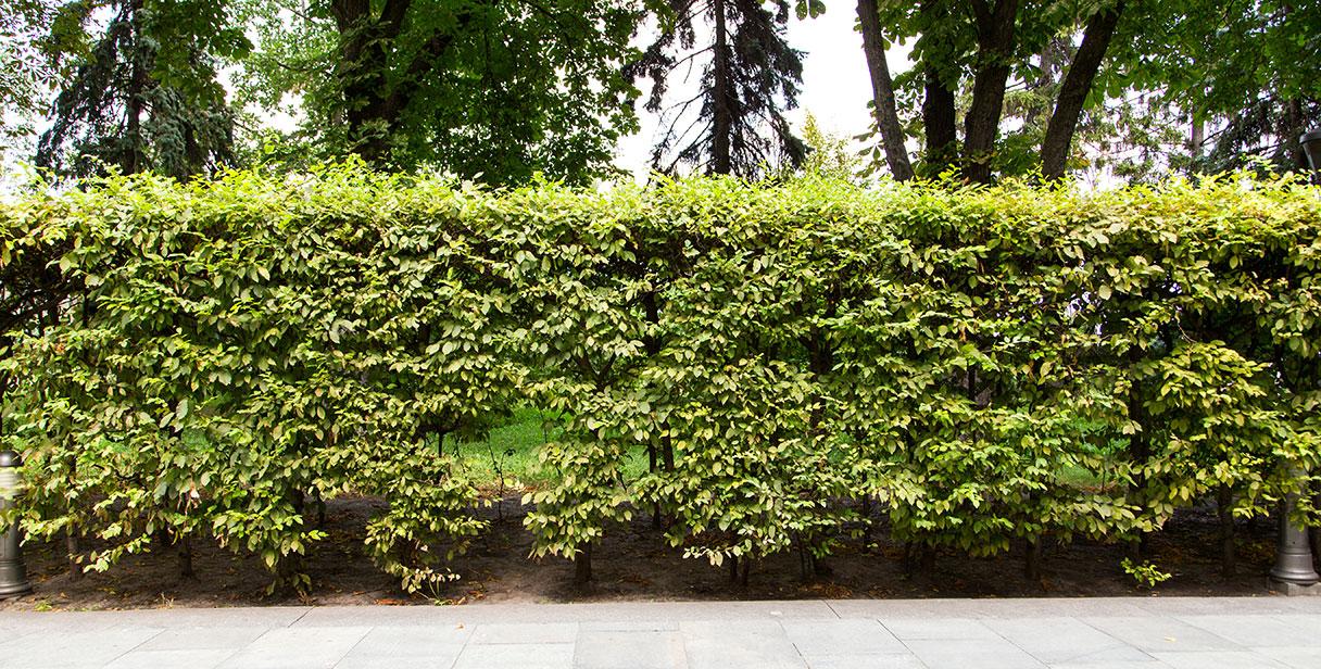 Hornbeam as a Hedge Plant