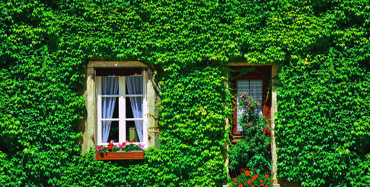 Ivy: a Versatile Hedging Plant