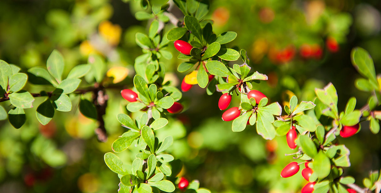 Japanese Barberry Hedging