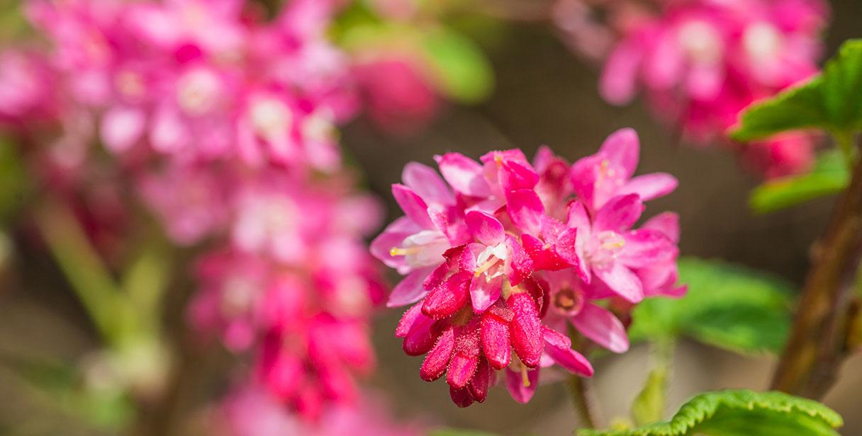 'King Edward VII' for Flowering Hedges