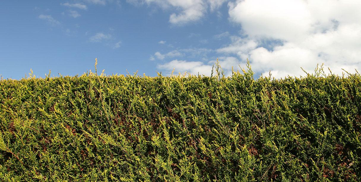 Leyland Cypress 'Castlewellan Gold'