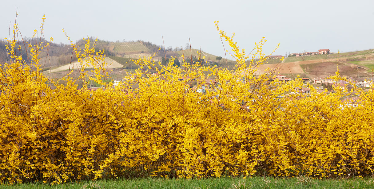 Maintaining a Forsythia Hedge