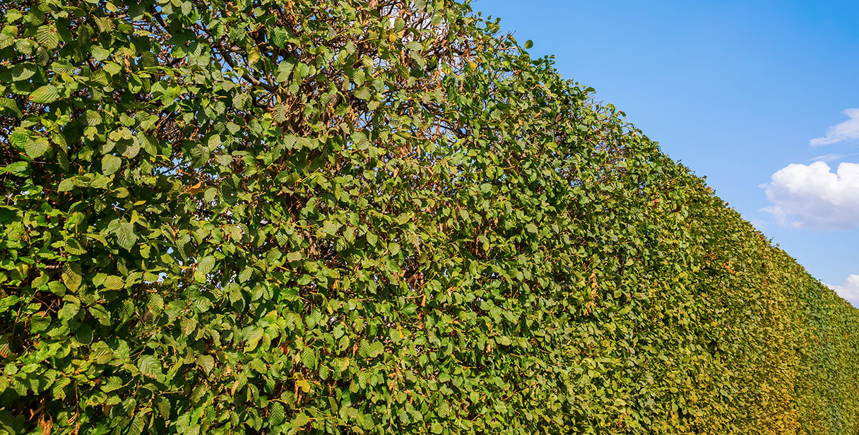 Planting and Pruning Hornbeam Hedges