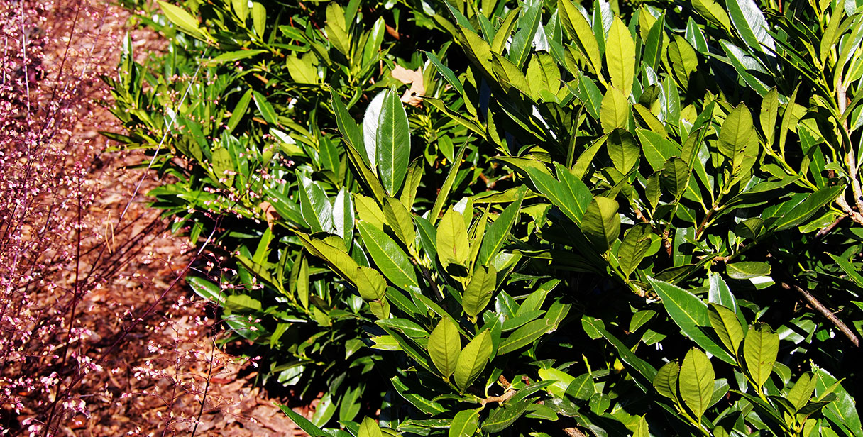 Small, Low-Maintenance Cherry Laurel Hedges'