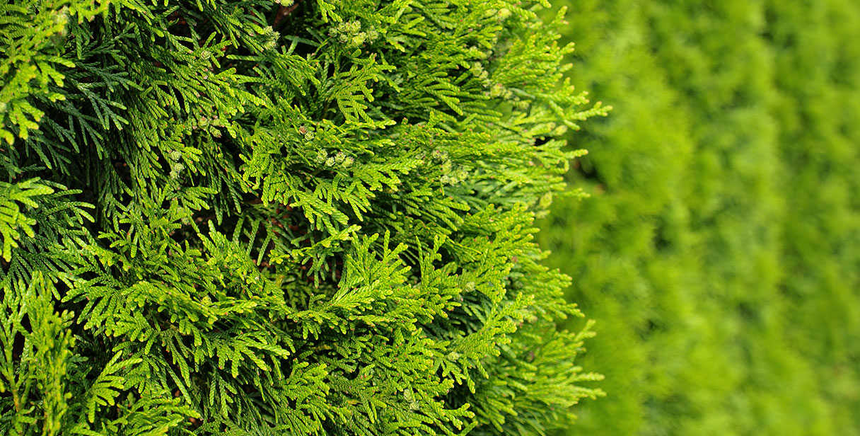 Tall Conifer Hedges