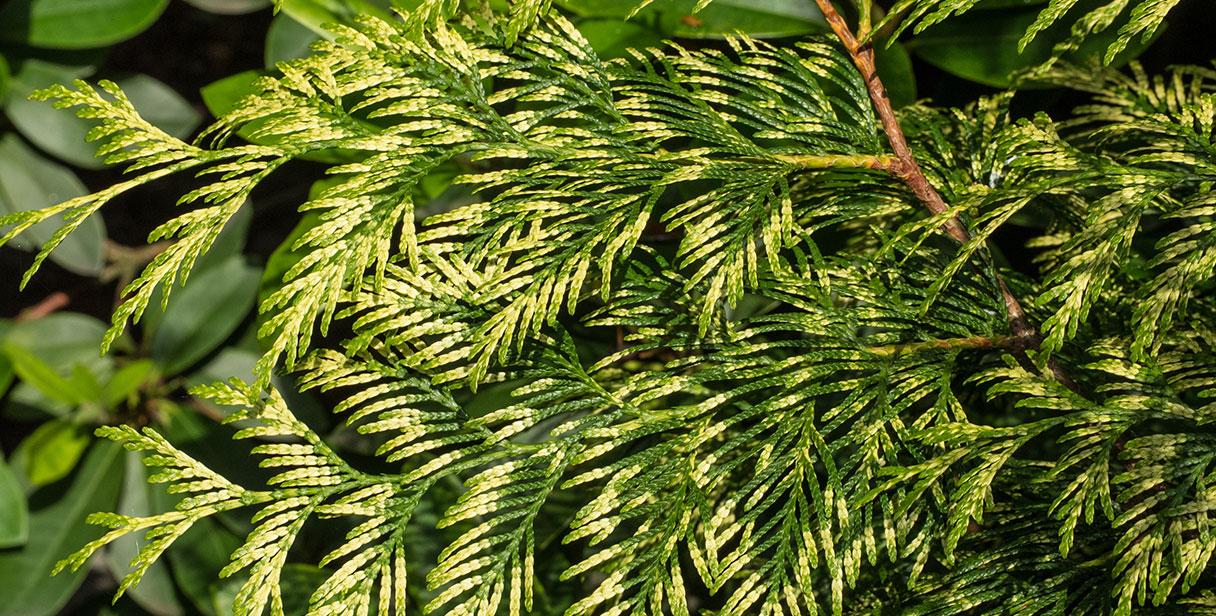 Thuja for Dense Evergreen Hedges