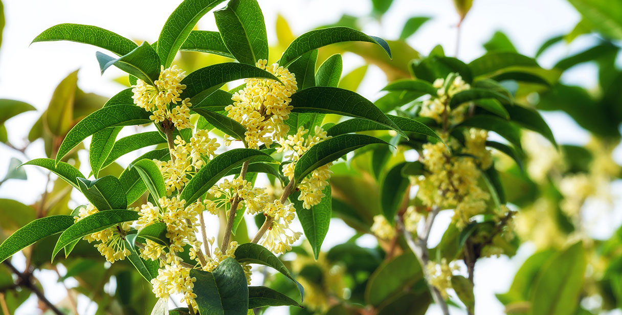 Types of Osmanthus Hedging