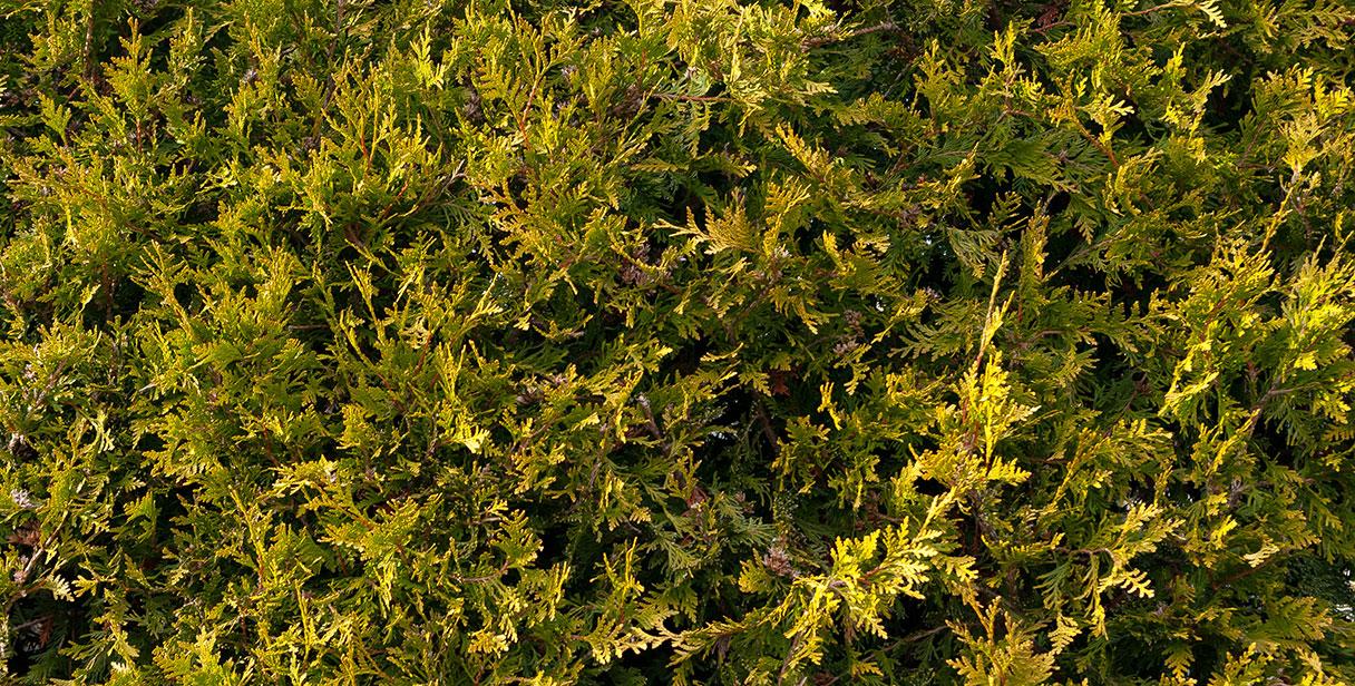 Western Red Cedar: Strength and Longevity