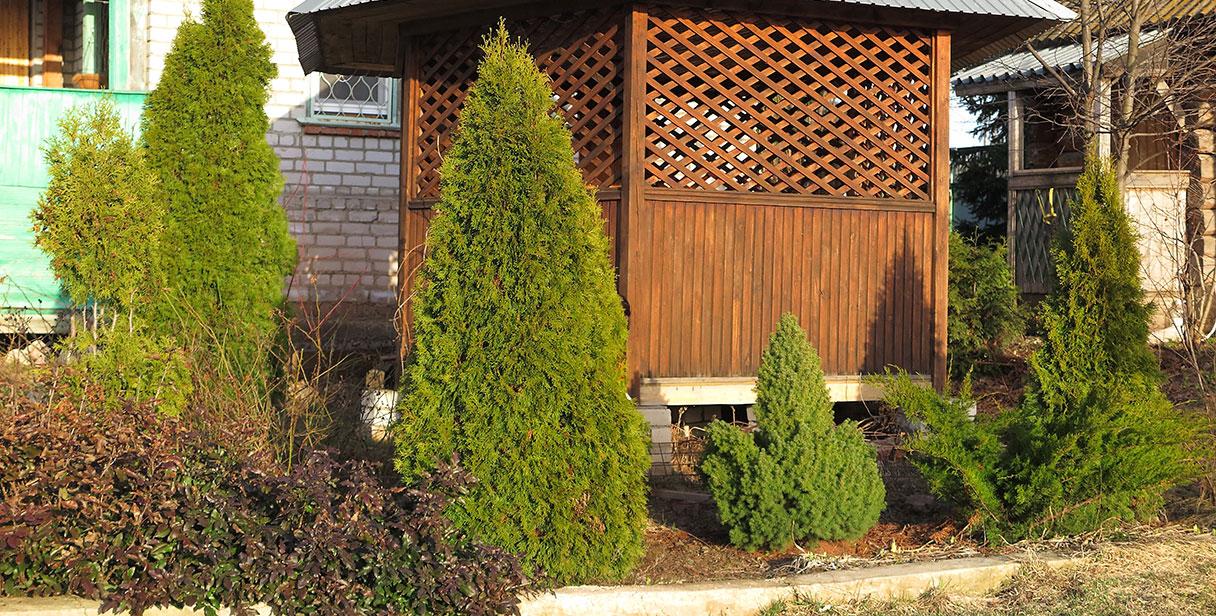 White Cedar 'Smaragd' Screening Hedges