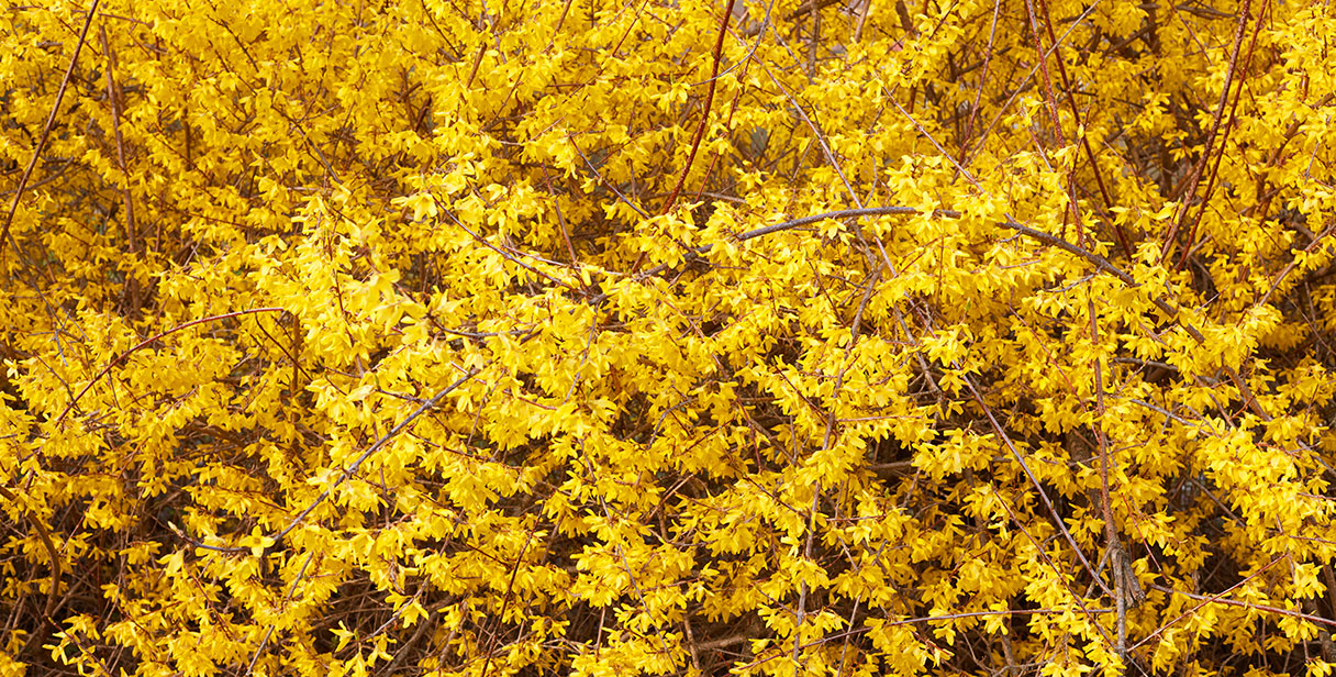 Why Choose a Forsythia Hedge?