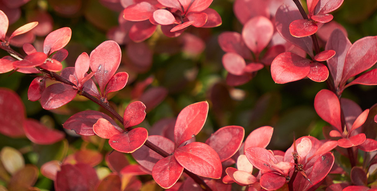 Why Choose a Japanese Barberry Hedge?