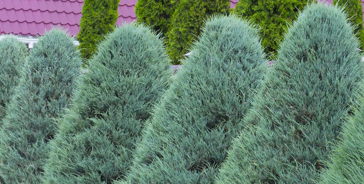 Why Choose a Thuja Hedge?